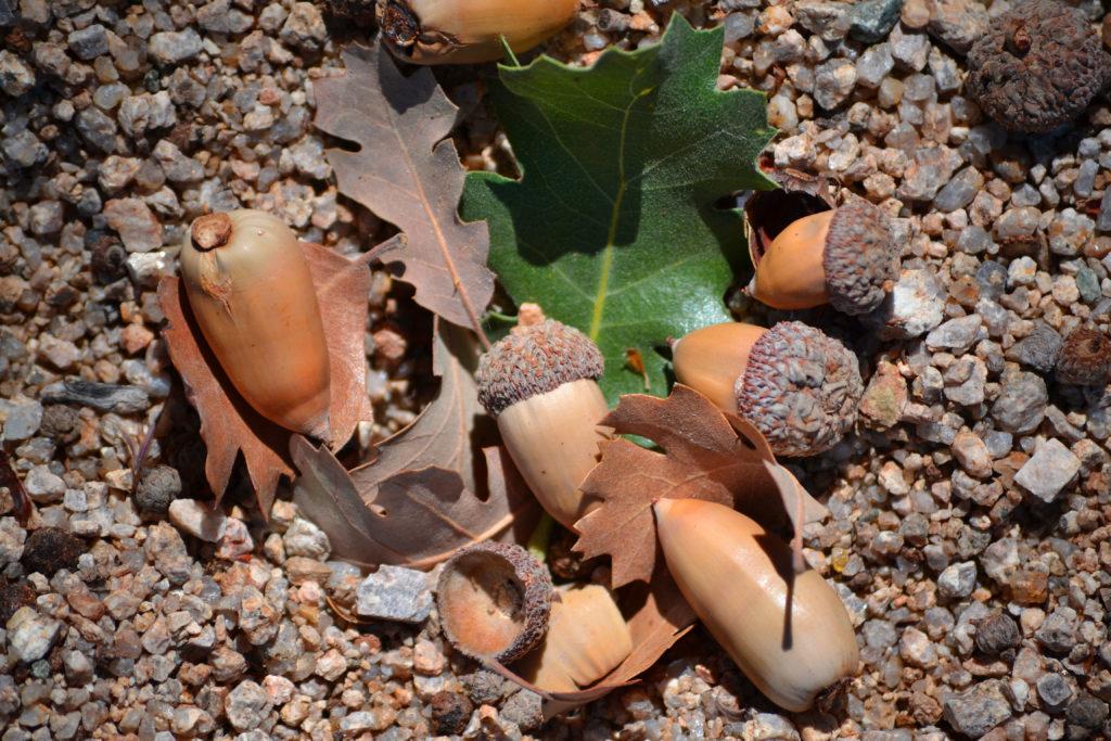 joshua-tree-national-park-climbing-camping-hiking-adventure-tour-live-oak-picnic-area-acorns