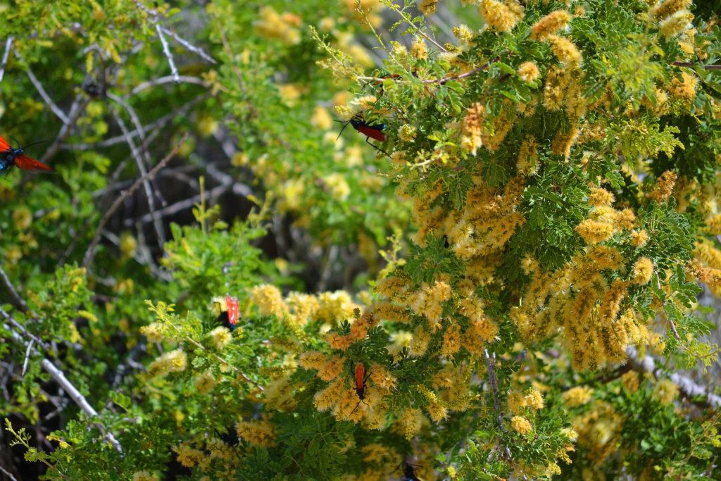 joshua-tree-national-park-climbing-camping-hiking-adventure-tour-squaw-tank-tarantula-hawk-pepsis-wasp-2